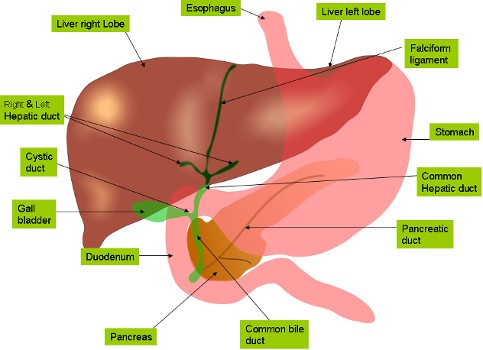 Anatomy of Liver & Gall Bladder