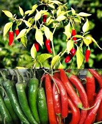 Red Chilly Plant - Chillies